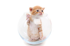 Small purebred kitten in a glass vase stock images
