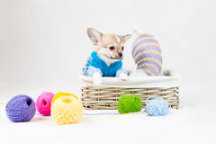 Small purebred puppies Royalty Free Stock Photo