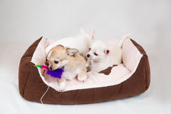 Small purebred puppies Stock Image