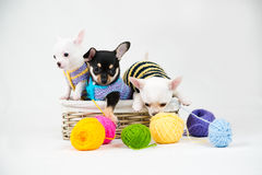 Small purebred puppies Royalty Free Stock Image