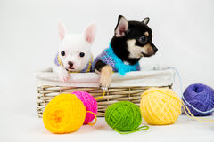 Small purebred puppies Stock Images
