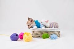 Small purebred puppies Stock Photo