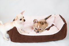 Small purebred puppies Stock Photo