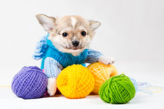 Small purebred puppy Royalty Free Stock Images