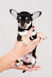 Small purebred puppy Stock Photo