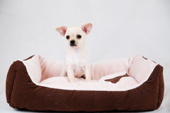 Small purebred puppy Stock Photography