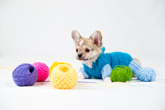 Small purebred puppy Stock Image