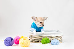 Small purebred puppy Stock Photos