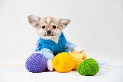 Small purebred puppy Royalty Free Stock Photos