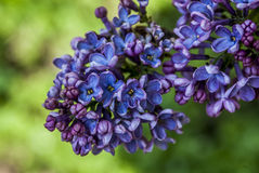 Small purple beauties Royalty Free Stock Photography
