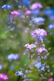 Small purple blue flowers Stock Photo