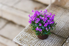 Small purple campanula flowers planted in brown pot on stone stairs Royalty Free Stock Image