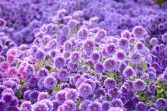 Small purple chrysanthemum flowers Stock Image