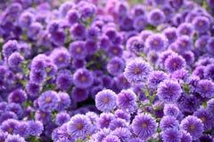 Small purple chrysanthemum flowers Stock Photography