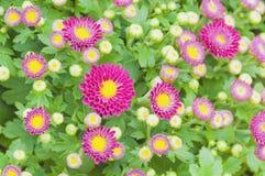 Small purple chrysanthemum flowers Royalty Free Stock Images