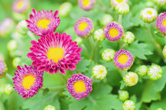 Small purple chrysanthemum flowers Royalty Free Stock Photography
