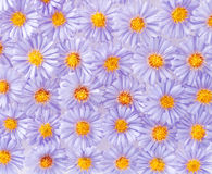 Small purple chrysanthemums Royalty Free Stock Photo