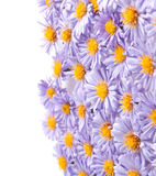 Small purple chrysanthemums Royalty Free Stock Images