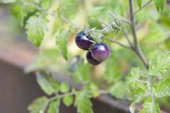 Small purple colored cherry tomatoes on tomato plant in garden in late summer royalty free stock images