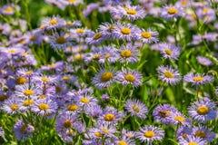 Small purple daisies - Erigeron. Stock Photos