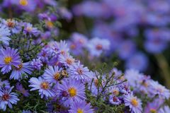 Small purple daisies - Erigeron. Garden flowers natural summer background. On a flower the bee collects the nectar royalty free stock images
