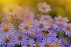 Free Small Purple Daisies - Erigeron. Garden Flowers Natural Summer Background. On A Flower The Bee Collects The Nectar Royalty Free Stock Photo - 138861355