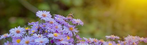 Free Small Purple Daisies - Erigeron. Garden Flowers Natural Summer Background. On A Flower The Bee Collects The Nectar Royalty Free Stock Image - 153148656