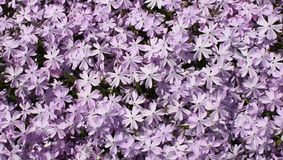 Small Purple Flock of Flowers Stock Photography