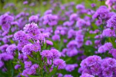 Small purple flower background. Nature concept stock photography
