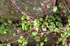 Small purple flower groundcover. Spreads its vine at a brick wall royalty free stock images