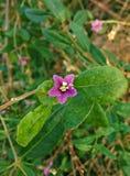 Small purple flower. Macro of the small purple flower Royalty Free Stock Photo