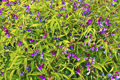 Small purple flowering plant close-up. Royalty Free Stock Photo