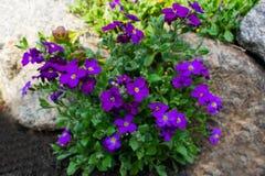 Small purple  flowers аubrieta growing between some rocks royalty free stock photo