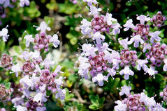 Small purple flowers Stock Photo