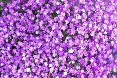 Small Purple Flowers for Backgrounds and Texture. Beautiful purple flowers in a garden setting - perfect for background color and textures royalty free stock image