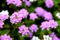 Small purple flowers Royalty Free Stock Photos