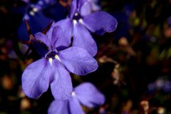 Small purple flowers royalty free stock photography