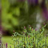 Small purple flowers on the bush. A summer garden Stock Images