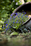 Small purple flowers in a flower pot. Small purple flowers in a tipped over flower pot on the ground close up royalty free stock photography