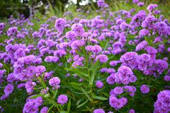 Small purple flowers in the garden. Nature concept stock image