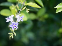 3 small purple flowers in the green leafy garden. 3 small purple flowers in the green leafy garden white pots hanging brick wall royalty free stock images