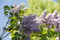 Small Purple Flowers Royalty Free Stock Images