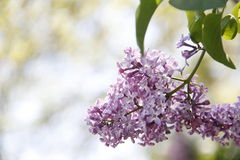 Small Purple Flowers Stock Photography
