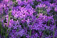 Small purple flowers. On the ground and a little grass stock photo