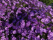 Small purple flowers. A massif of small purple flowers Royalty Free Stock Photos