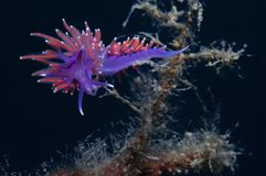 A small purple invertebrate. Slides over the algae in search of food royalty free stock photo