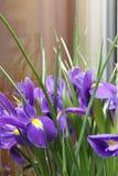 Small purple irises. A bouquet of small purple irises Stock Photo