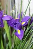 Small purple irises. A bouquet of small purple irises Stock Images