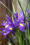 Small purple irises. A bouquet of small purple irises Royalty Free Stock Images