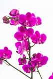 Small purple Moth orchids close up Royalty Free Stock Photography
